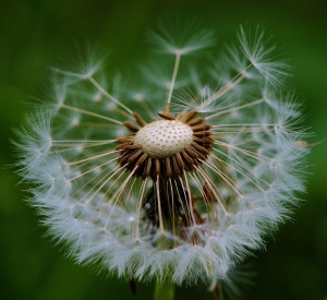dandelion-plant-nature-flower