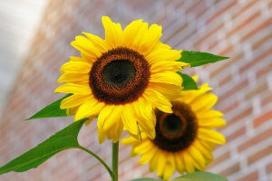 sunflower-flowers-bright-yellow-46216